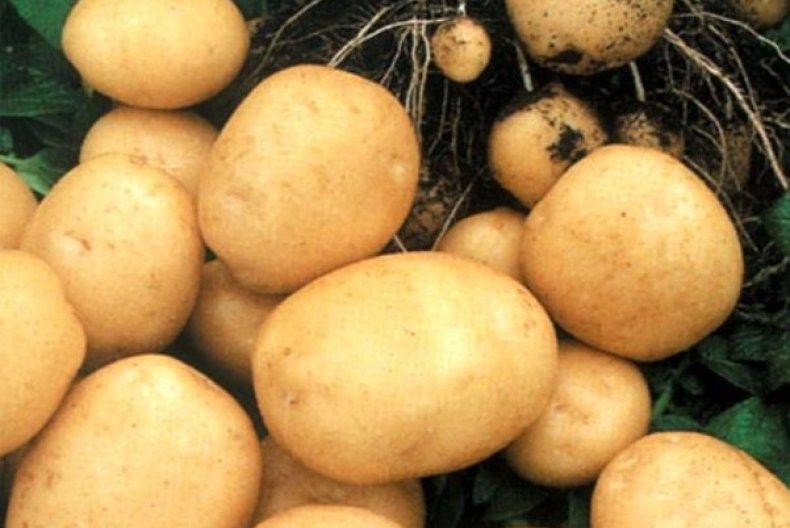 Картофель рогнеда описание сорта, характеристика, фото русский фермер