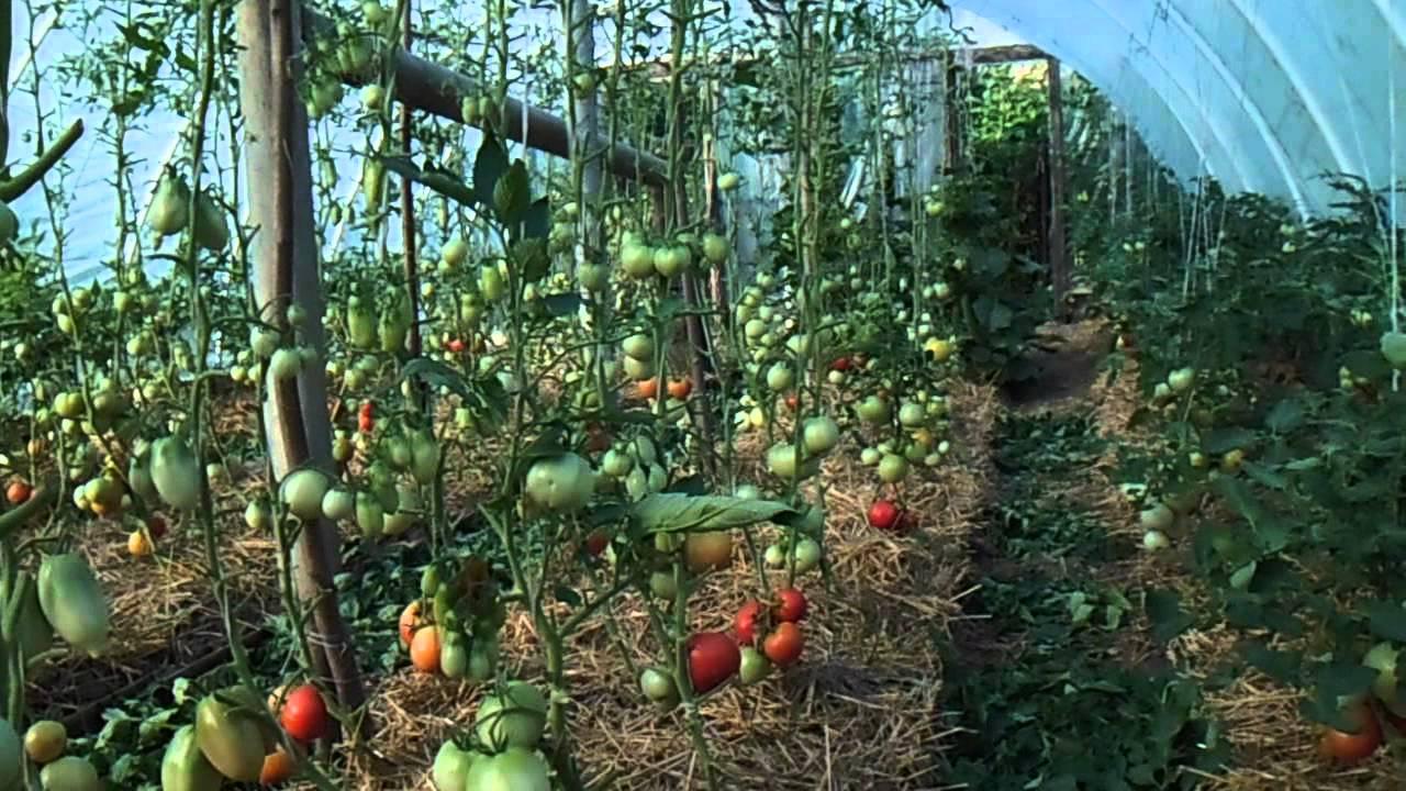 Помидоры в теплице для начинающих: какие сорта посадить и как за ними правильно ухаживать