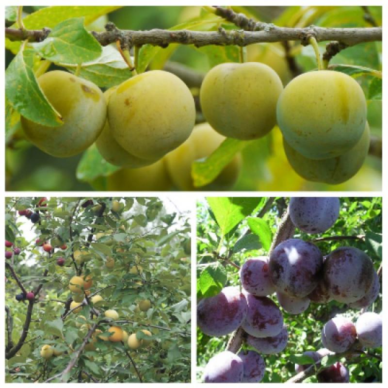 Слива богатырская: описание сорта, выращивание и уход, опылители и подкормка с фото