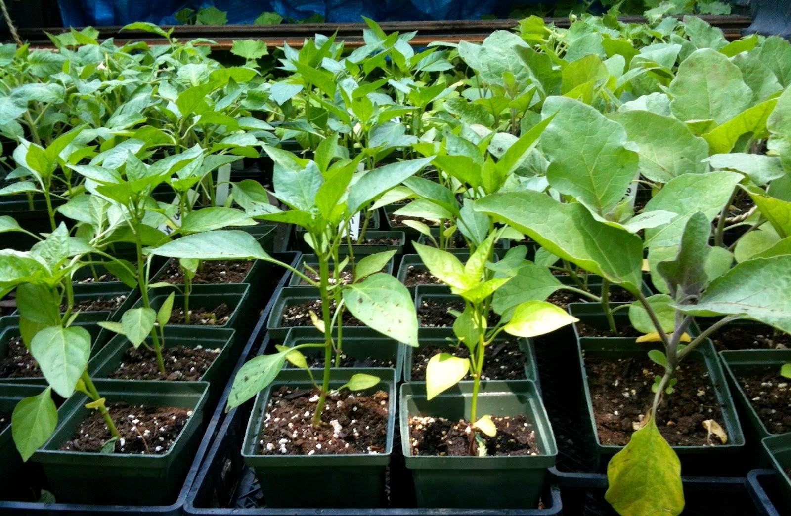 Ценные советы по выращиванию здоровой рассады базилика