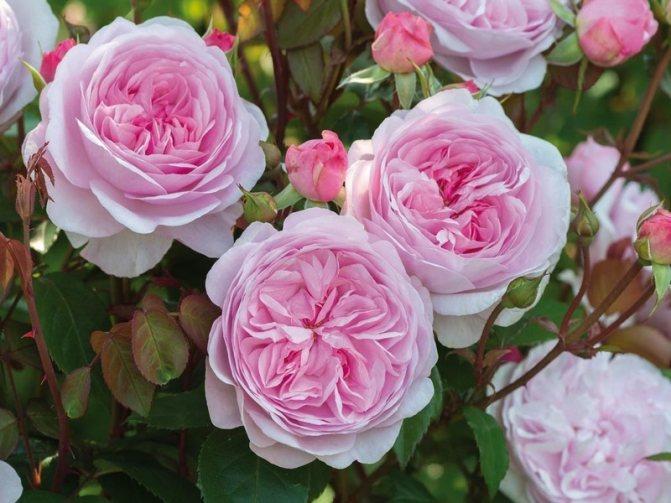 Пионовидные розы: описание 15 лучших сортов, посадка и уход в открытом грунте