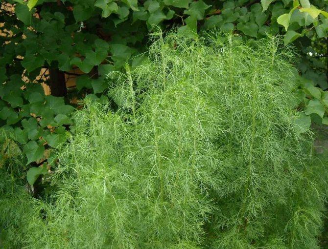 Укропное дерево: что представляет собой растение, как правильно выращивать, способы применения в разных областях