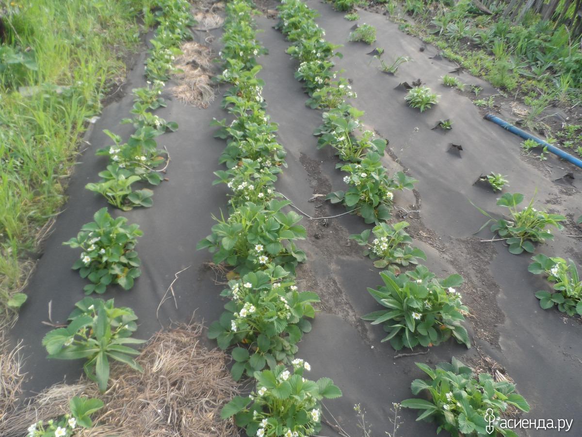 Посадка клубники под черный укрывной материал с опилками и травой, видео и фото