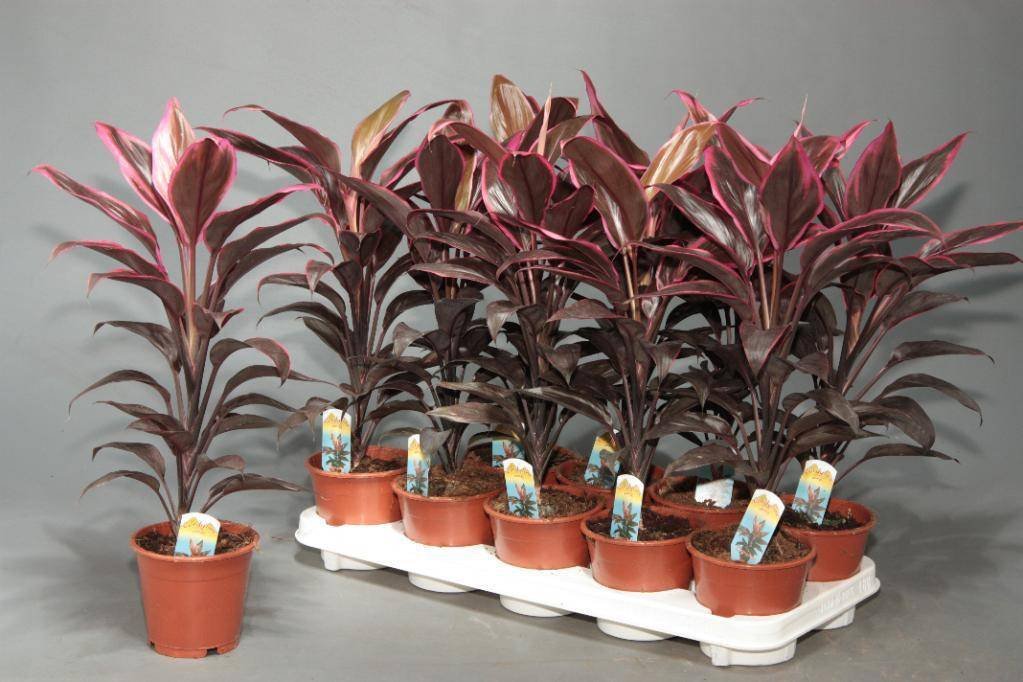 Цветок кордилина: посадка, размножение и уход в домашних условиях