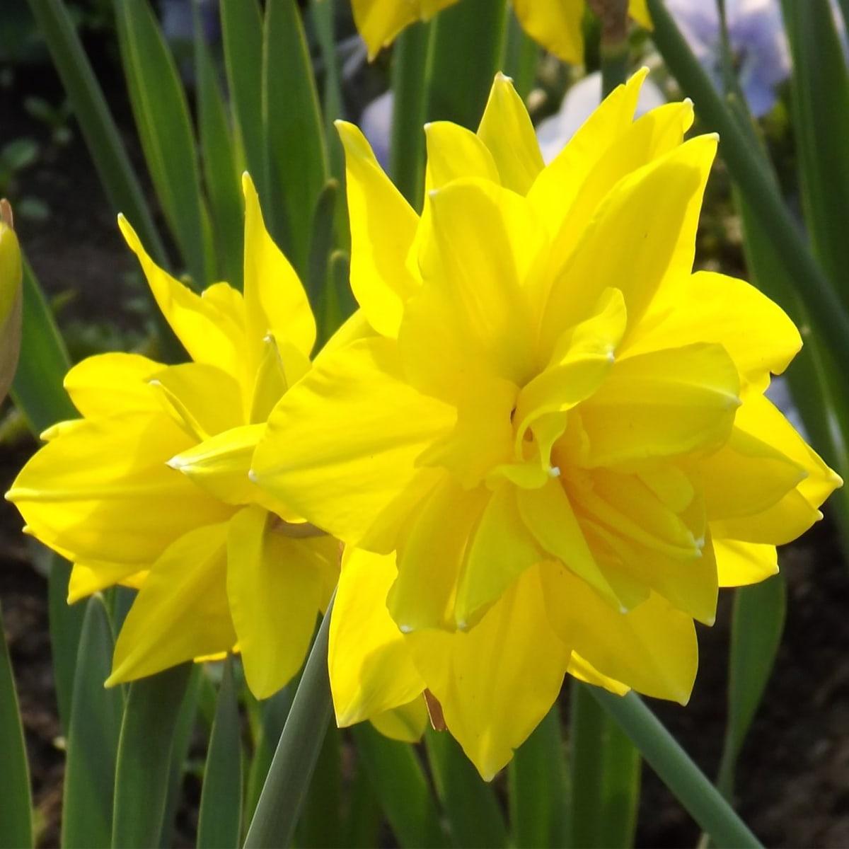 Нарцисс айс кинг: 4 совета и 9 видов
