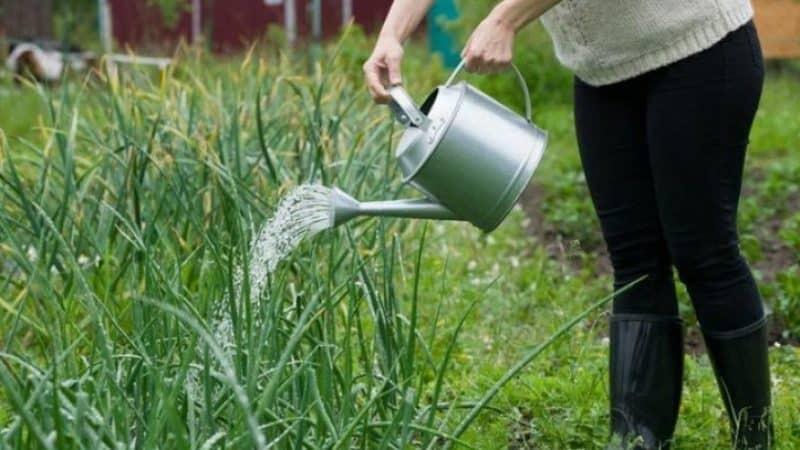 Как часто поливать морковь в открытом грунте для получения хорошего урожая