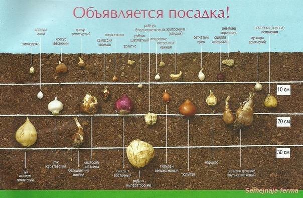Размножение лилий чешуйками, бульбочками и черенками осенью. как это делать правильно?