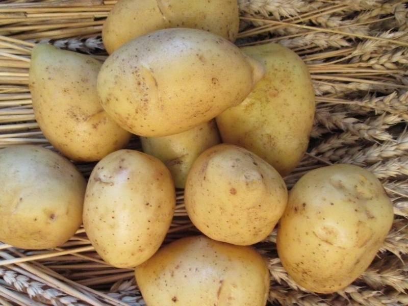Картофель гала - описание сорта, характеристика, отзывы