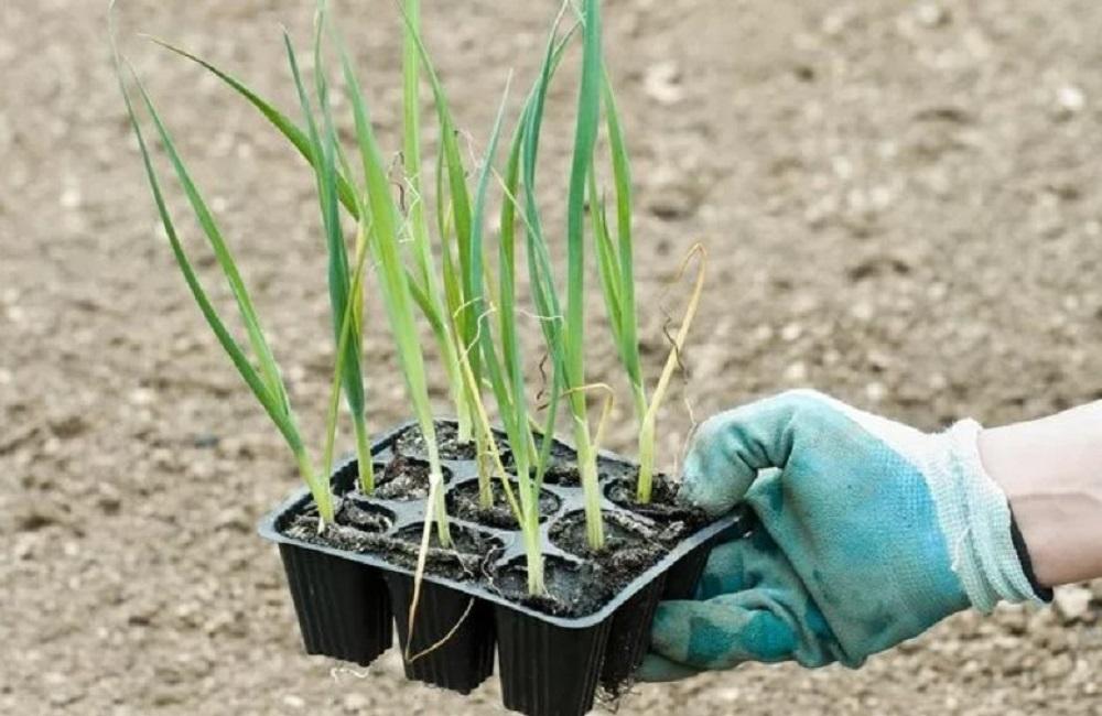 Лук-порей русский размер: выращивание из семян и рассады, характеристика и описание сорта, правила ухода, а также методы борьбы с вредителями и болезнями