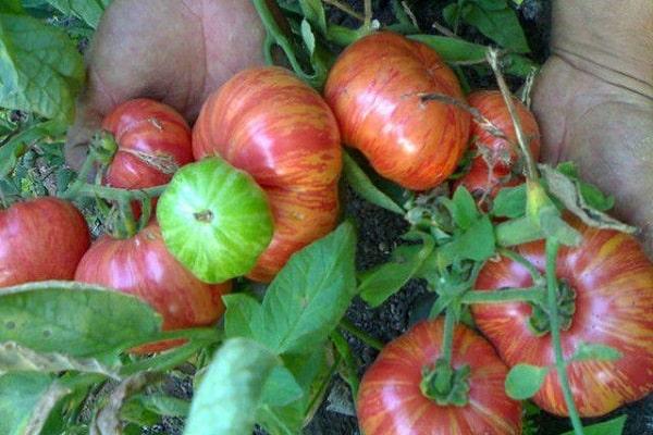 Описание сорта томата винтейдж вайн, его характеристика и урожайность - всё про сады