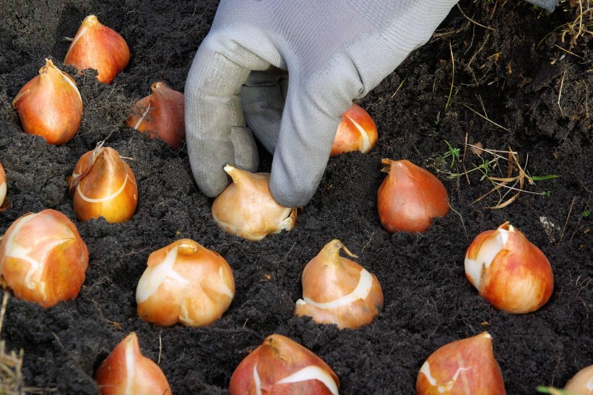 Подготовка тюльпанов к посадке осенью
