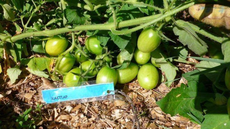 Томаты каспер фото описание отзывы | мой сад и огород