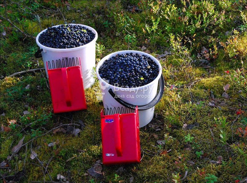 Приспособление для сбора вишни и черешни: устройство плодосъемника для сбора вишни с высокого дерева. как пользоваться плодосборником?