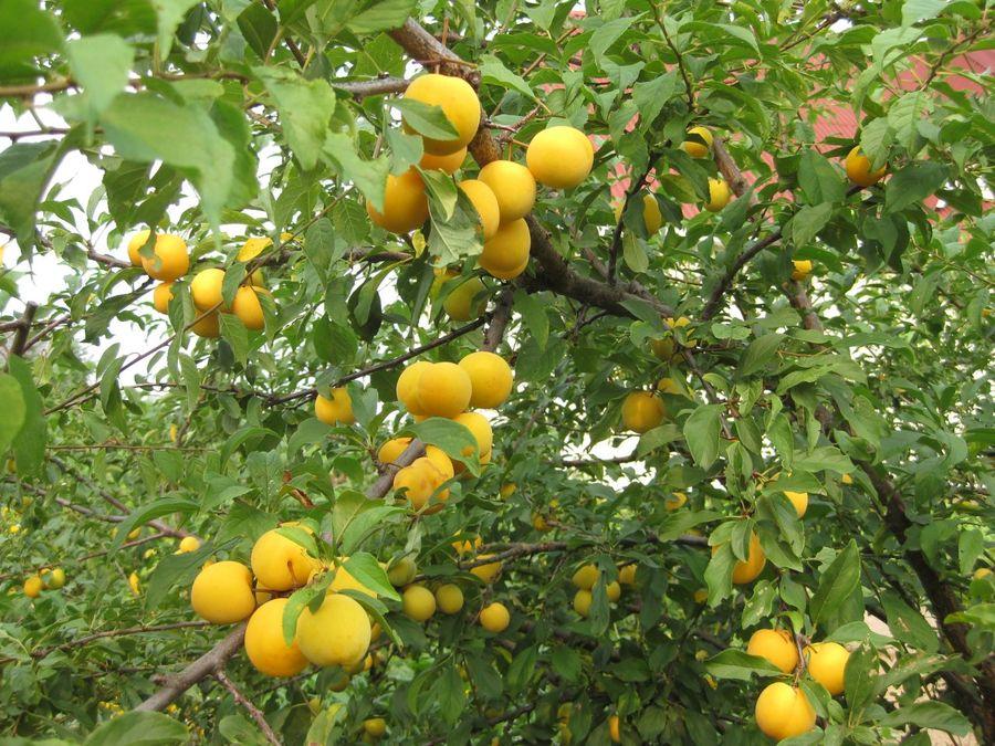 Правила выращивания и ухода за алычой в открытом грунте, посадка и подкормка