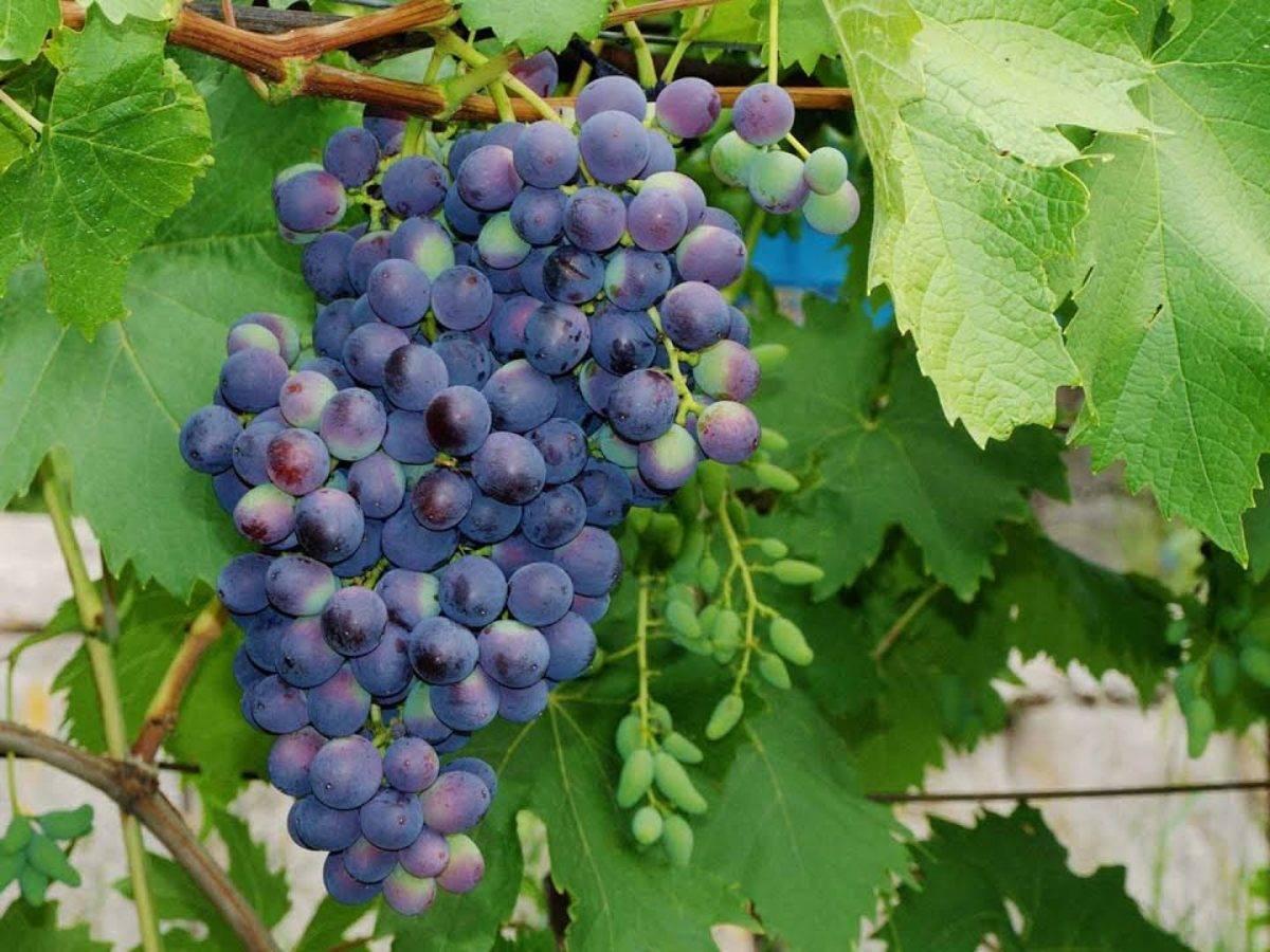 """Подробное описание сорта винограда """" забава"""""""