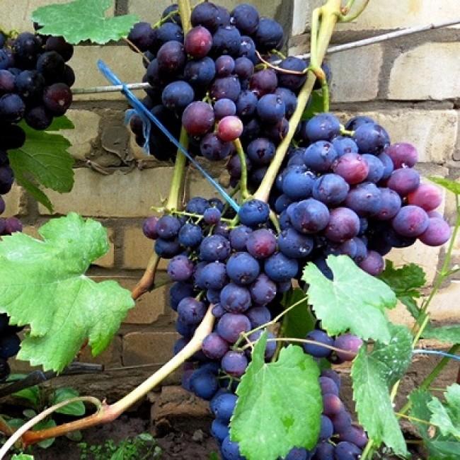 Виноград рошфор: описание сорта с характеристикой и отзывами, особенности посадки и выращивания, фото