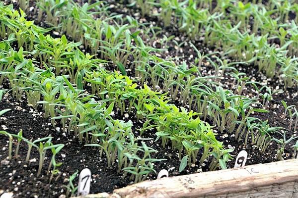 Экономим время и силы при посадке томатов — плюсы и минусы выращивания рассады без пикировки