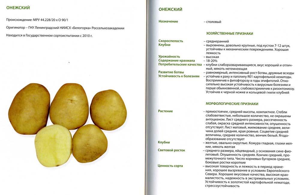 Картофель вектор – описание сорта, фото, отзывы