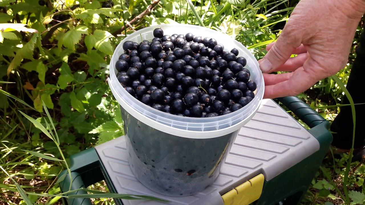Размножение черной смородины: весной, летом, осенью, личный опыт садовода по черенкованию, делению куста и отводками