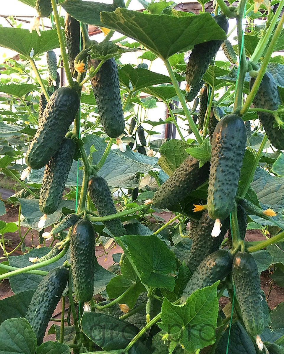 Огурец лютояр f1: отзывы и описание, технология выращивания, фотографии