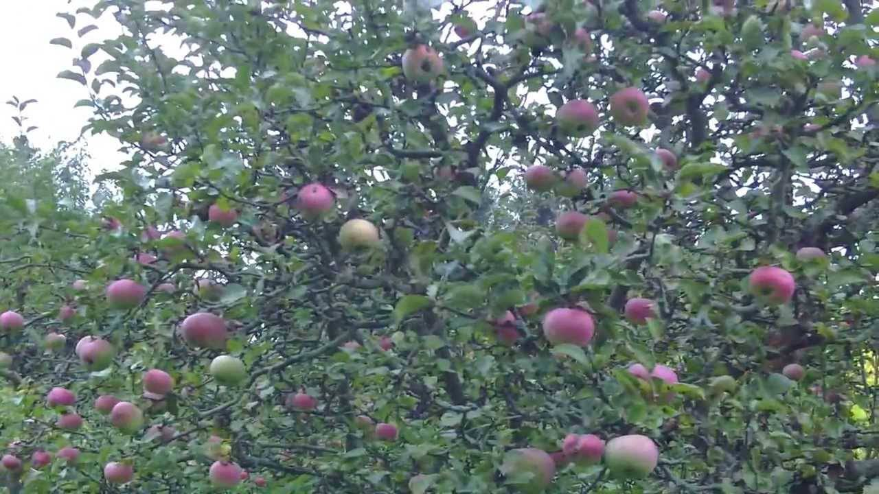 Обхитрить яблоню. как заставить дерево плодоносить? - огород, сад, балкон - медиаплатформа миртесен