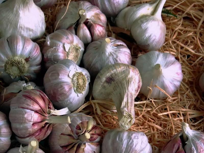 Как хранить и сушить чеснок в овощехранилище круглый год |trotec