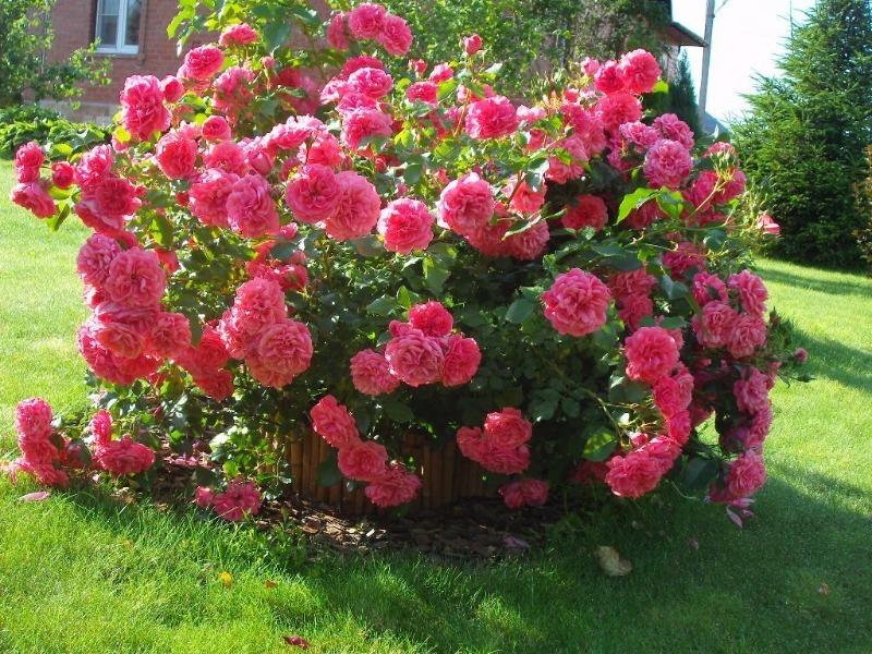 Плетистая роза розариум ютерсен: описание сорта, посадка и уход, фото, отзывы