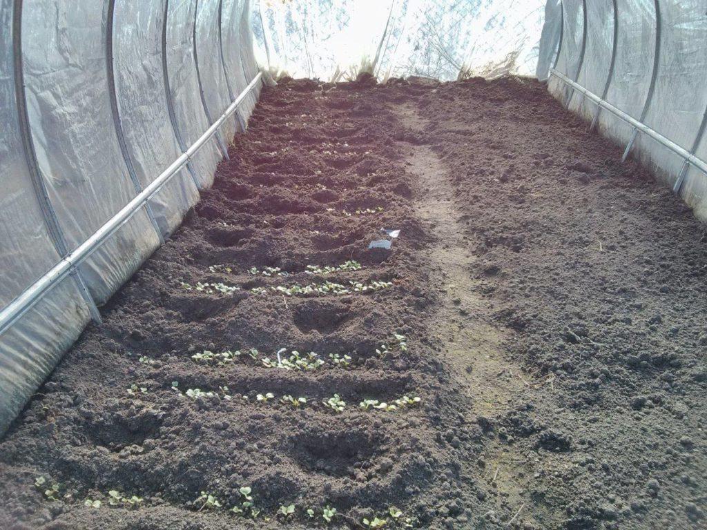 Секреты посадки укропа в открытый грунт семенами и рассадой: технология выращивания и ухода