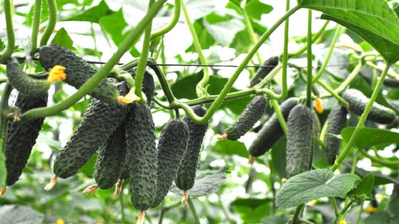 Огурец лютояр f1: отзывы и описание сорта, технология выращивания, уход и урожайность