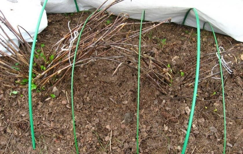 Розмарин: выращивание в открытом грунте в подмосковье, как укрыть на зиму
