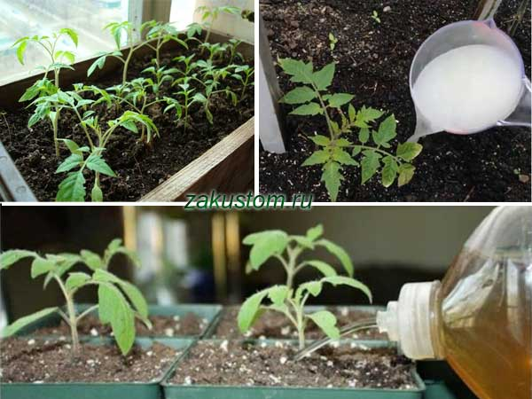 Рассада помидоров: когда пикировать, когда подкармливать, уход