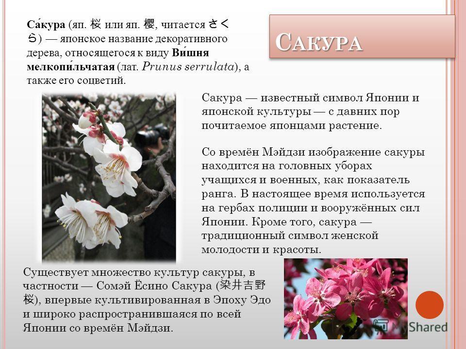Декоративная японская вишня, сорта, виды и выращивание