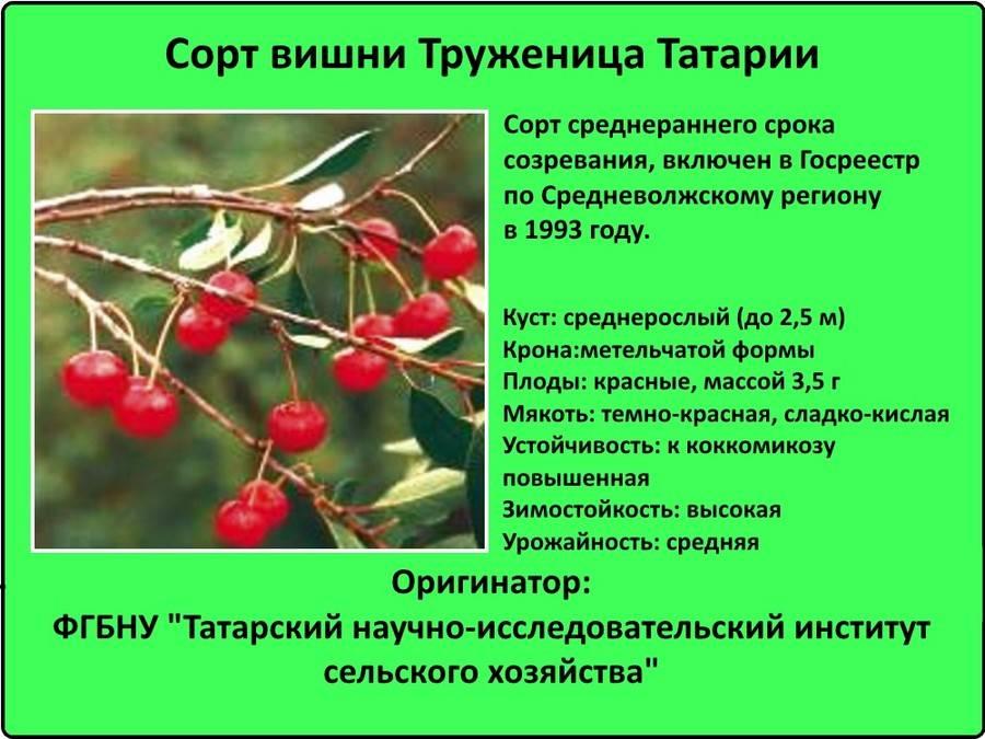Самоплодные сорта вишни: что это такое, какие из них самые лучшие для средней полосы и самарской области