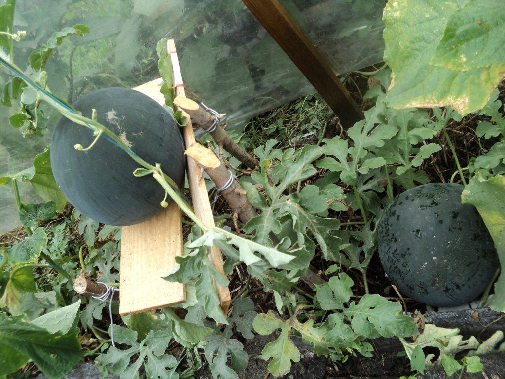 Арбуз огонек: выращивание в открытом грунте и теплице, уход