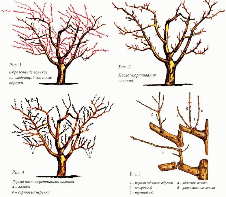 Схема обрезки сливы осенью, особенности формирования кроны