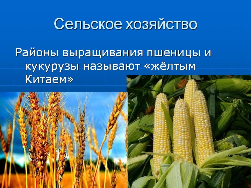 Технология выращивания кукурузы в открытом грунте и теплице, посадка и уход