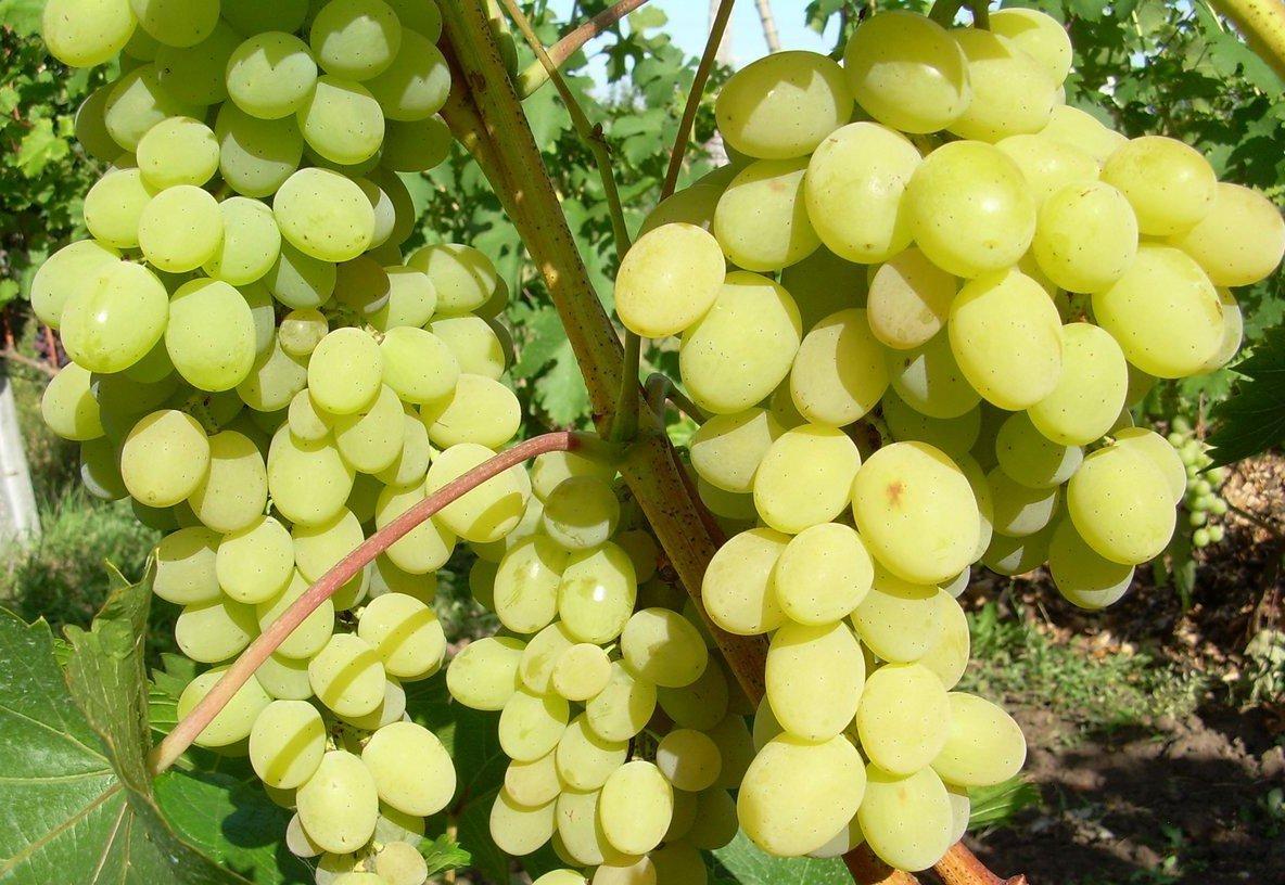 Виноград сенсация: описание сорта с характеристикой и отзывами, особенности посадки и выращивания, фото