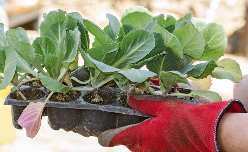 Рассада капусты: почему листья скручиваются и белеют, сколько всходят сеянцы, отчего не приживаются в грунте, как сохранить при черном корне и спасти, если завяли?