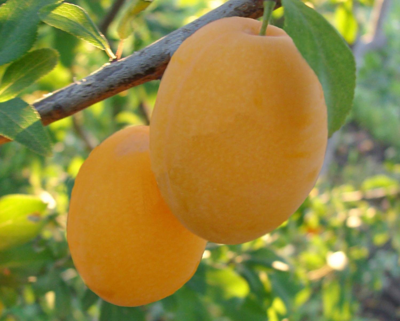 Сорт сливы медовая желтая, описание, характеристика и отзывы, особенности выращивания