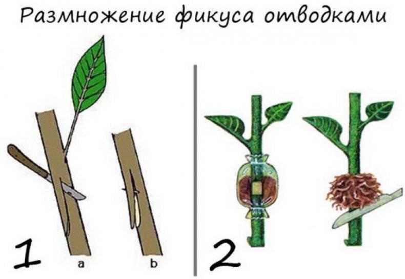 Качественная обрезка сливы: секреты урожайности и декоративности