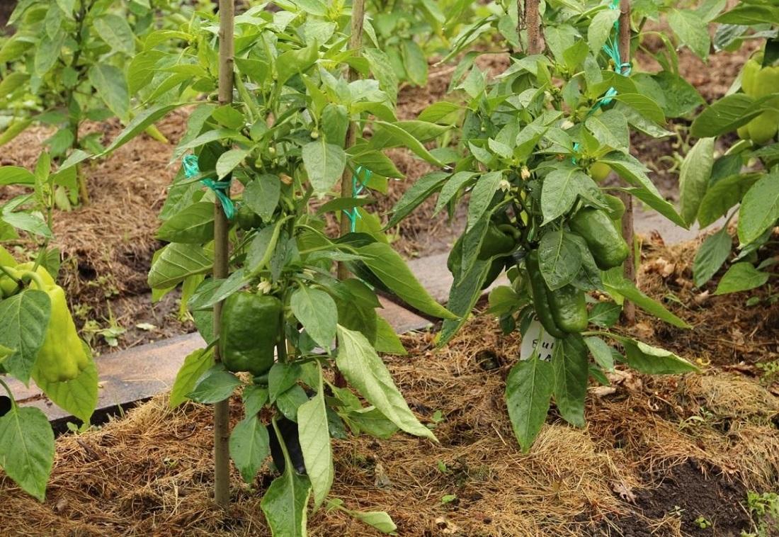 Как вырастить горький перец в открытом грунте: особенности и правила выращивания, болезни и вредители