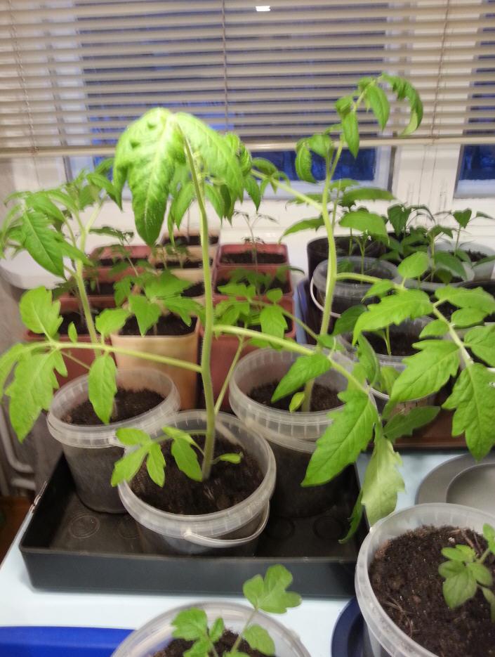Выращивание рассады помидоров в торфяных горшочках: как сажать, ухаживать и перемещать в землю?