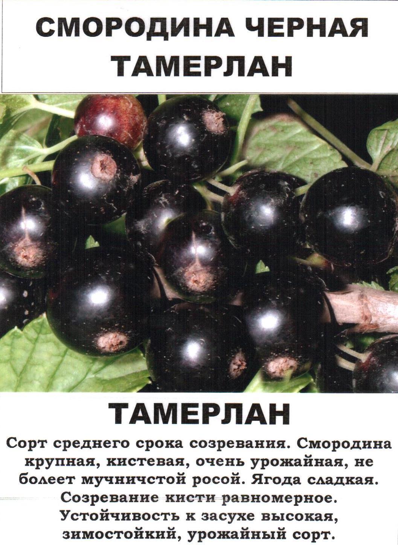 """Сорт черной смородины """"гулливер"""": описание, фото, уход"""