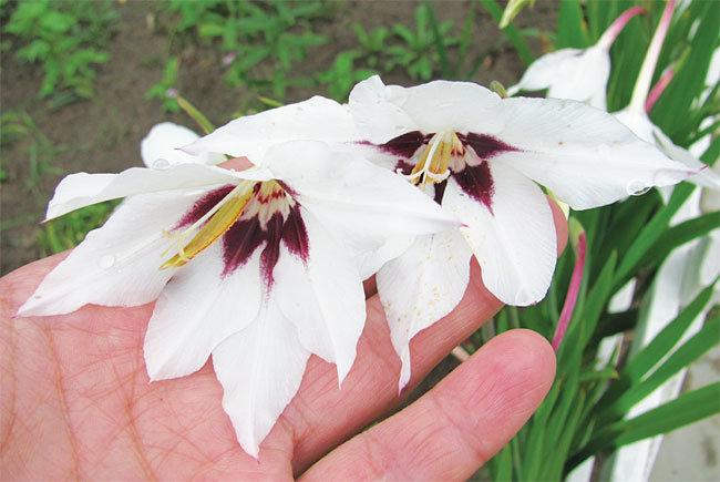 Ацидантера: уход и выращивание в открытом грунте