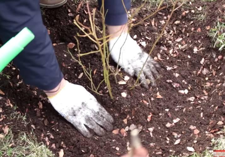 Какой состав почвы нужен для садовой голубики и как сделать его своими руками