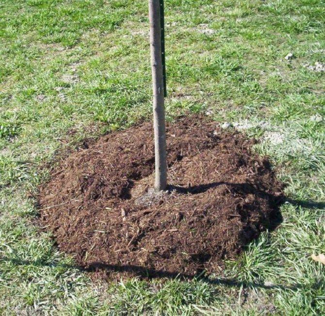 Как посадить вишню – 5 этапов обустройства вишневого сада