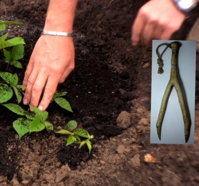 Как посадить ревень