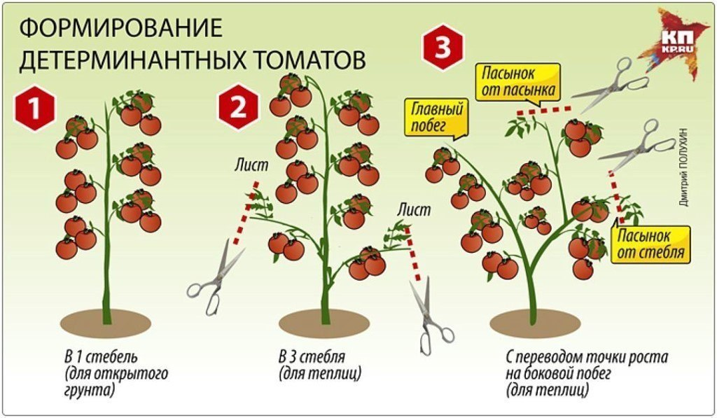 Отзывы, описание, характеристика, урожайность, фото и видео сорта помидоров «кумир»