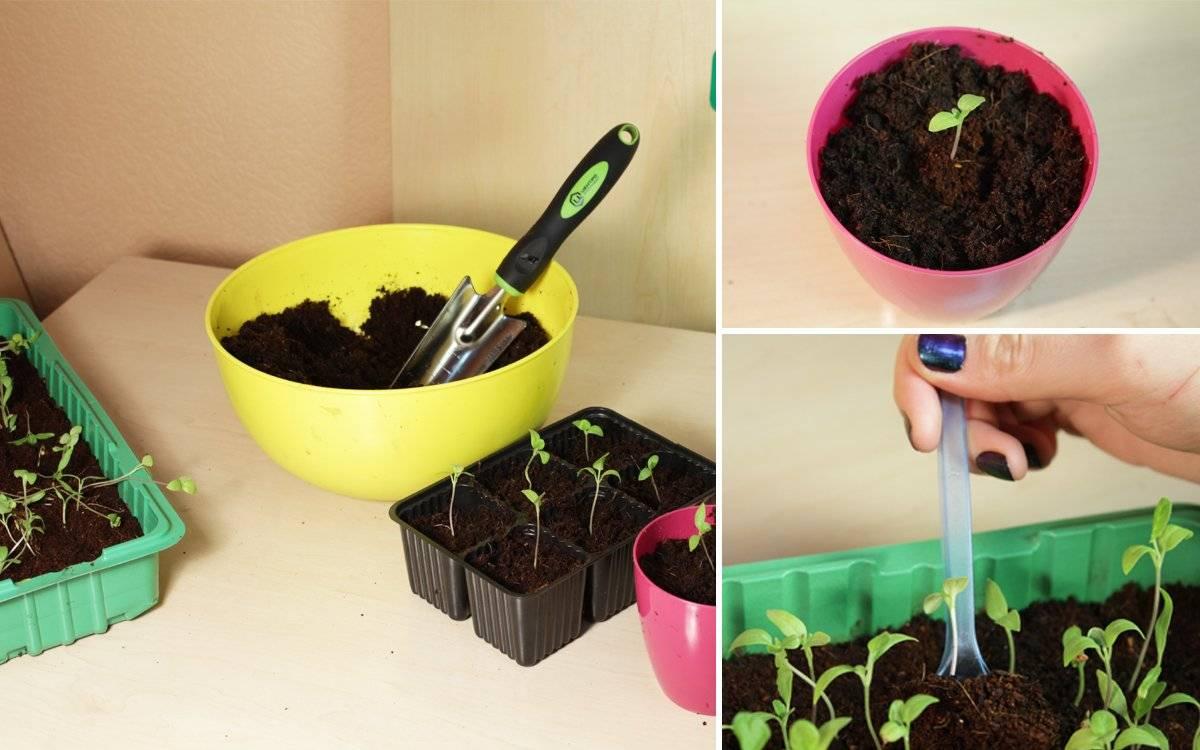 Баклажан: выращивание из семян на огороде