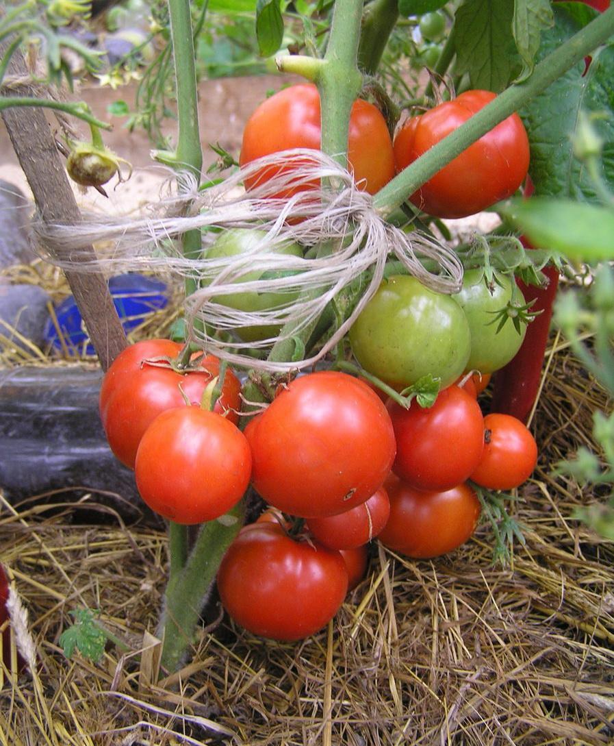 Позднеспелые сорта томатов: подробный перечень разновидностей помидор с описанием урожайности и рекомендациями по выращиванию в теплицах и открытом грунте русский фермер